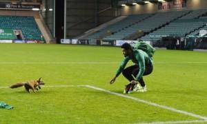 Лисиця на полі: В Естонії футбольний матч перервали через гостя з лісу